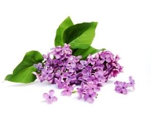 Lilac Liquid Flavour